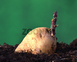 Kartoffelkeimung; solanum tuberosum;