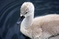 Baby Trumpeter Swan