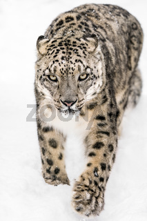 Snow Leopard on the Prowl XIV
