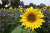 Sonnenblumen, Blühstreifen