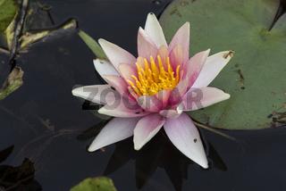 Nymphaea,seerose,wasserrose,Water-lilies,Nymphaea Barbara Dobbins,phaea