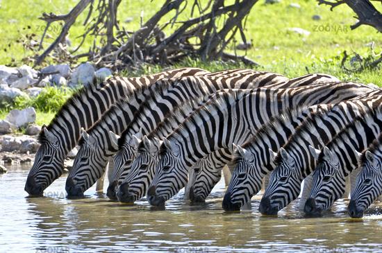Trinkende Zebras