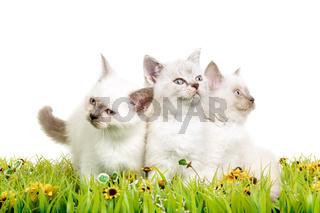 Portrait of three British Shorthair Kittens sitting, 8 weeks old,