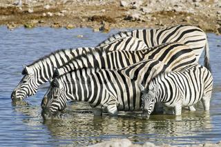 Steppenzebras (Equus quagga burchelli) am Wasserloch von Okaukuejo, Etosha National Park, Afrika, Namibia, Plains Zebras, Common Zebras at the Okaukuejo waterhole, Africa