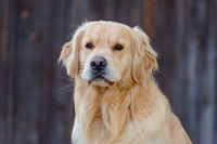 BENZ KERSTIN - GOLDEN RETRIEVER-21.jpg