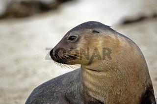 Australischer Seelöwe , Neophoca cinerea,  am Strand von Kangaroo Island, Südaustralien