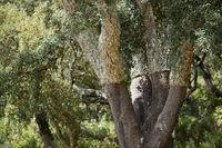 PORTUGAL ALGARVE MONCHIQUE CORK PLANTATION