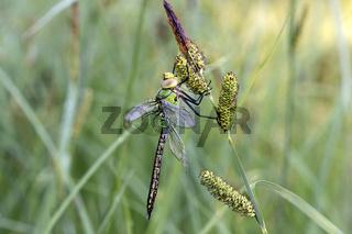Große Königslibelle (Anax imperator), frisch geschlüpftes Männchen