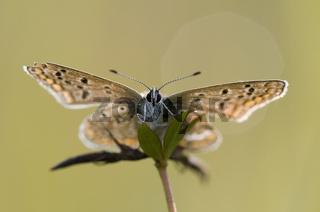 Idas-Bläulinge / Idas Blue Butterfly / Plebeius idas