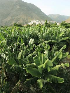 Bananenplantage im Valle Gran Rey, La Gomera.