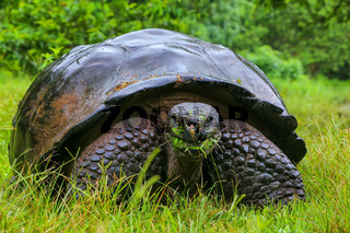 Galapagos giant tortoise on Santa Cruz Island in Galapagos National Park, Ecuador
