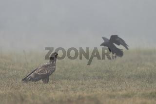 der Adler und der Rabe... Seeadler *Haliaeetus albicilla*