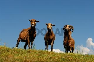 Drei Schafe auf dem Deich