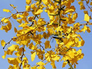 Zweige des Ginkgobaums im Herbst