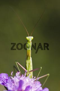 Gottesanbeterin (Mantis religiosa) auf einer Wiesen Witwenblume (Knautia arvensis) - Praying Mantis (Mantis religiosa) on a  Field Scabious (Knautia arvensis)