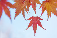 Red and yellow tree leaves on a light blue sky background in autumn