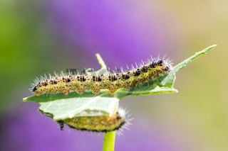 Caterpillars of a cabbage butterfly