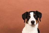 appenzeller sennenhund im portrait auf rosa hintergrund