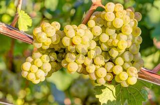 Weißweintrauben im Weinberg