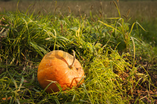Kürbis im Gras