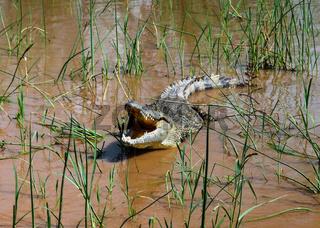 The yawning Nile crocodile Chamo lake, Nechisar national park, Ethiopia