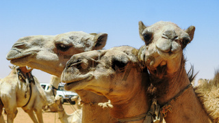 Camels in the camel market in Omdurman Sudan