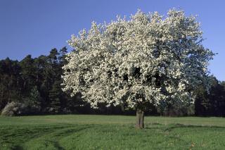 Bluehender Birnenbaum
