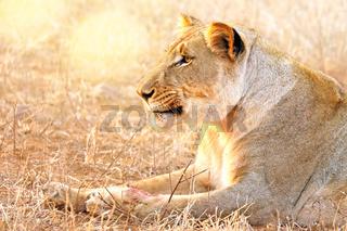 Löwin im Abendlicht, Kruger NP, Südafrika - lioness in the evening light, Kruger NP, South Africa
