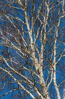 Naked birch on blue sky background