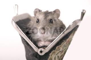 Hamster in einem Geldbeutel - Golden hamster in a purse