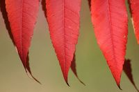 Red Sumac Leaves in Autumn