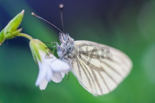 Beautiful white butterfly sitting on white flower.