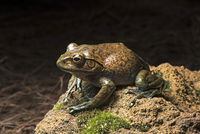 Frosch Boophis goudoti, Anjozorobe Nationalpark, Madagaskar