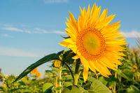 Eine Sonnenblume in einem Feld vor blauem Himmel