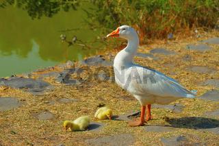 White Emden Goose, Anser cygnoides with goslings, Near Pune