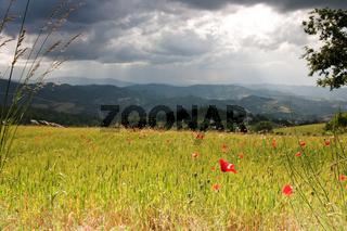 Mohn- und Getreidefeld in den Marken, Italien