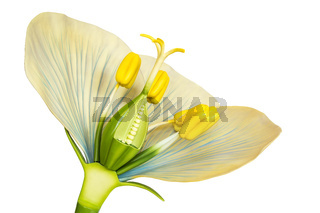 Model of flower with stamens and pistils on white