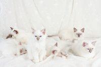 HEILIGE BIRMA KATZE, BIRMAKATZE, SACRET CAT OF BIRMA, BIRMAN CAT, WURF,