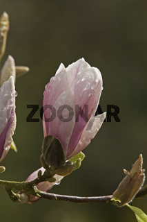 Magnolia soulangiana, Tulpenmagnolie, Detailaufnahme der Blüte