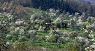 Streuobstwiese, bluehend; meadow orchard