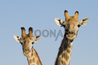 Giraffen (Giraffa camelopardalis), Etosha National Park, Namibia, Afrika, Giraffe, Africa