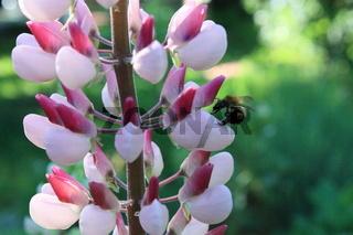 Lupinenblüte mit Insekt