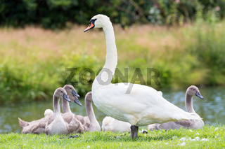 White mother swan with young chicks