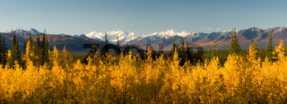 Blazing Yellow Fall Autumn Color Tress Denali Mountain Range