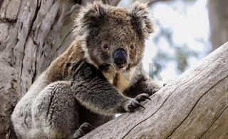 Koala in freier Natur