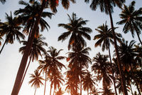 Coconut with sunrise.