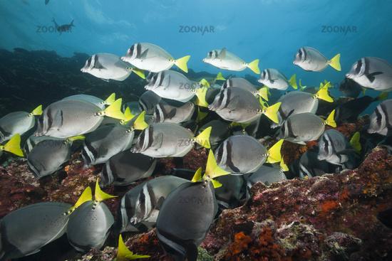 Schwarm Gelbschwanz-Doktorfische, Galapagos, Ecuador