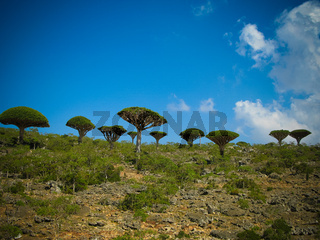 Dragon tree forest at plateau Dixam , endemic plant of Socotra island, Yemen
