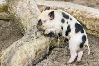 Young black and white piglet at tree trunk
