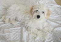 Young maltese dog